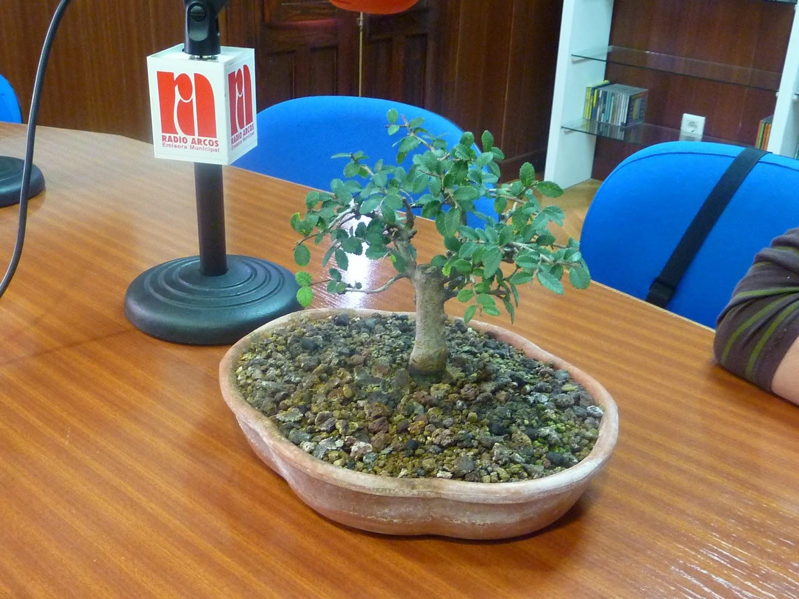 Contigo en la ma ana curso intensivo de bonsai para for Divan psicologo precio