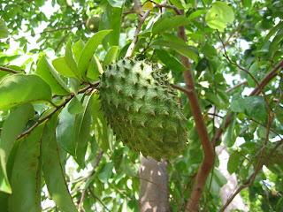 Kegunaan dan manfaat pohon sirsak untuk kesehatan