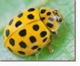 LADYBUGS ARE NOT ALWAYS ORANGE