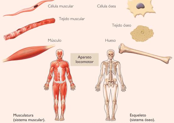 Imagenes Del Sistema Muscular