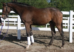 Dickie (formerly Baybee), 2010 ApHc/Tb cross