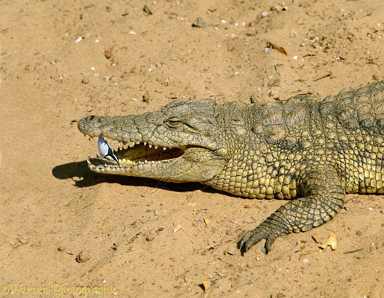 egyptian plover and crocodile relationship questions