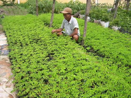 Cây chùm ngây giúp bà con Việt Nam xóa nghèo