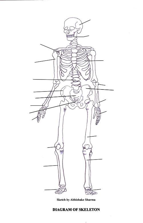 High School Anatomy Skeletal System