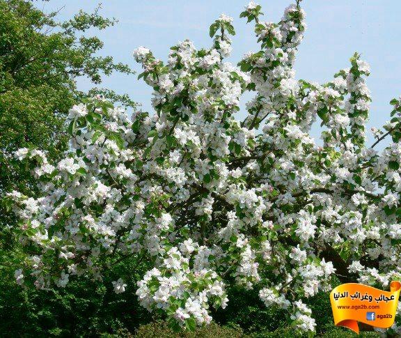 مراحل تكون شجرة التفاح عندما تثمر وكأنها ورده