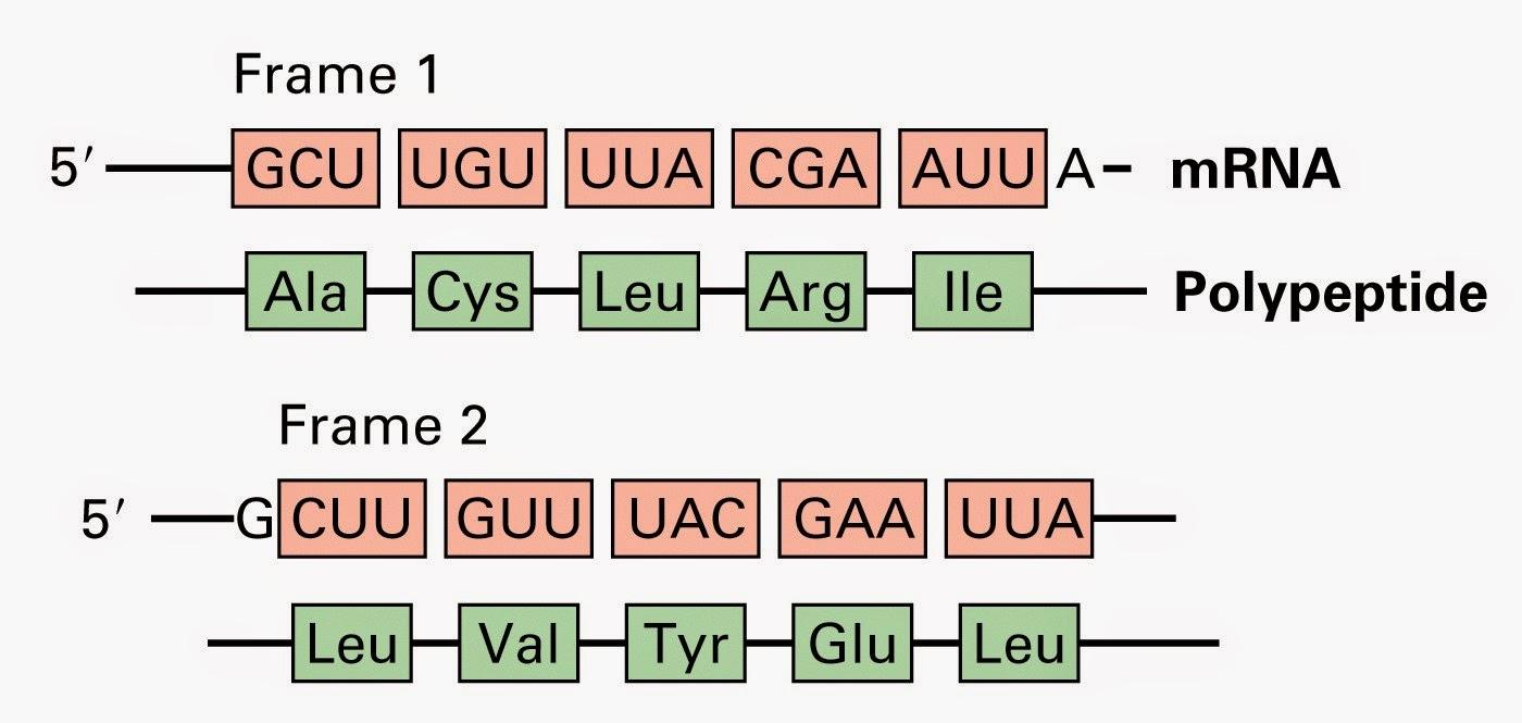 La Botica: Las tres funciones del ARN en la traducción.