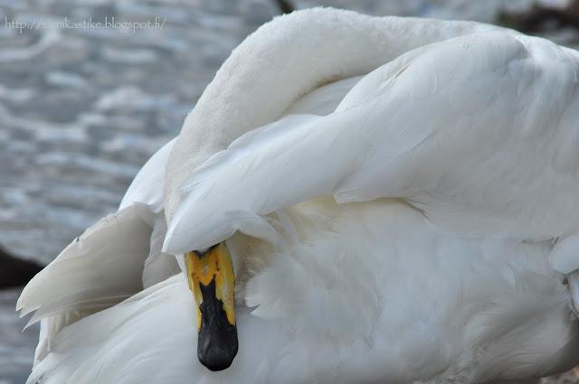 joutsen, swan