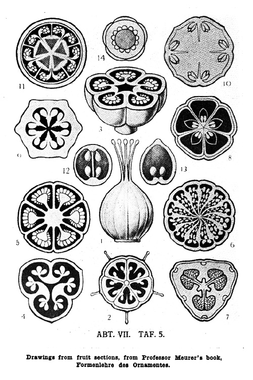 Drawings from fruit sections, from Professor Maurer's book, Formenlehre des Ornamentes