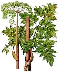 Informatii medicale despre planta medicinala: angelica