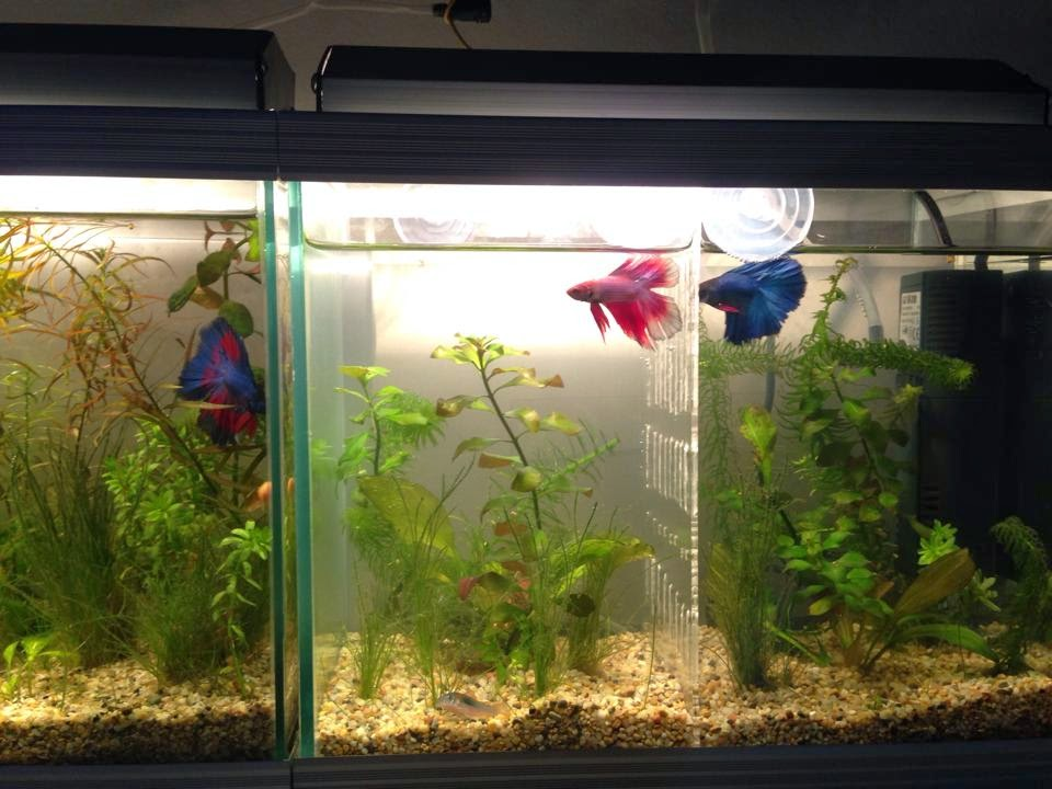 All about betta fish partitioned planted tank by ata recai for Betta fish plant tank