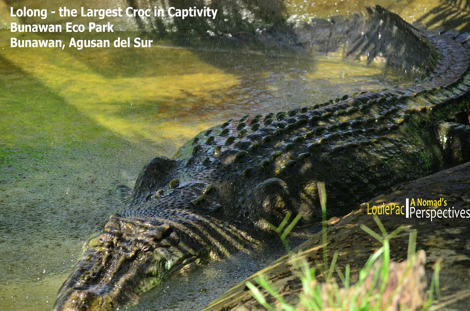 Lolong: World's Largest Crocodile in a Mini Pond! | A ...