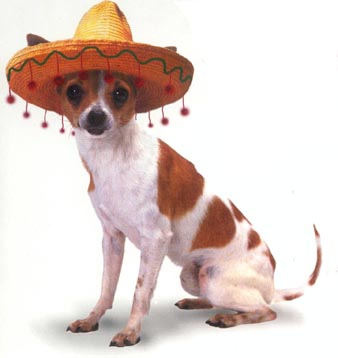 Should i buy a national mexican chihuaha?