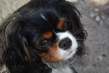 Savannah, a little Cavalier