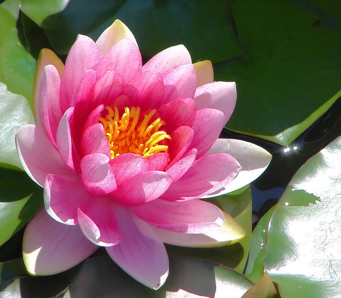 http://2.bp.blogspot.com/--T6xIX3DEbI/Tf9r0fTnVnI/AAAAAAAAAR4/3Dl7PmqOcGI/s1600/White+Pink+Lily+Wallpapers+4.jpg