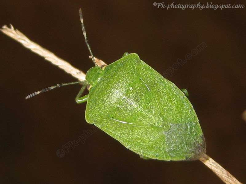 Southern Green Stink Bug Adult