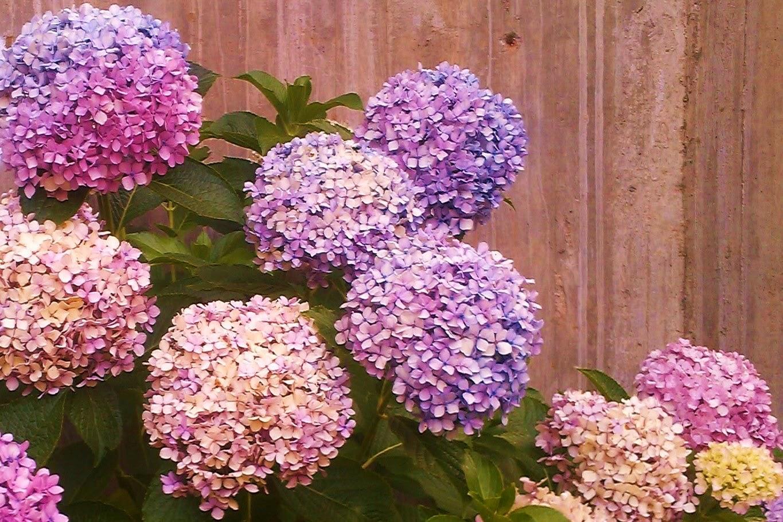El arte de la naturaleza hortensias - Hortensias cuidados poda ...