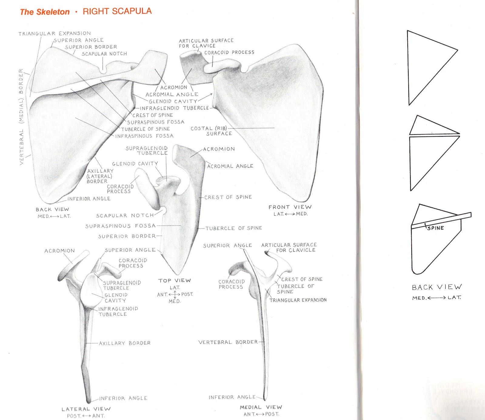 Foundation Figure: Day 8, Shoulder Girdle