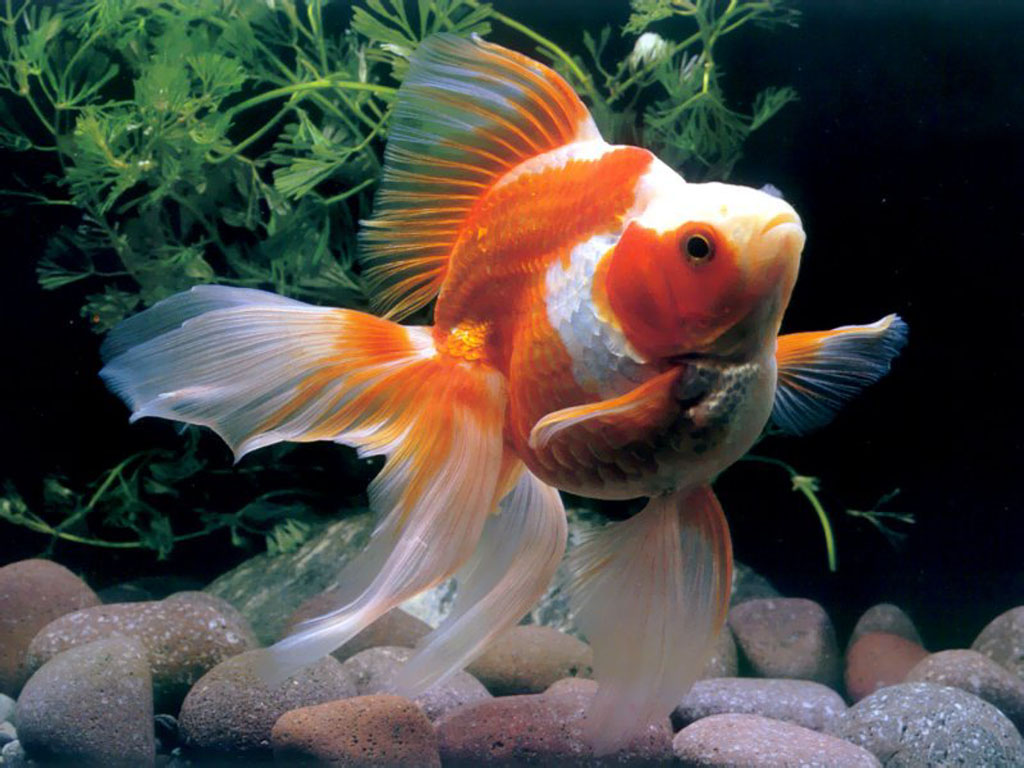 Beautiful fishes wallpaper pictures sea water animals for Fish tank for goldfish