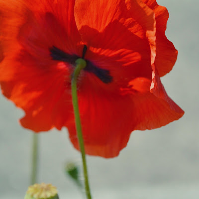 papaver, poppy, summer, flower, red