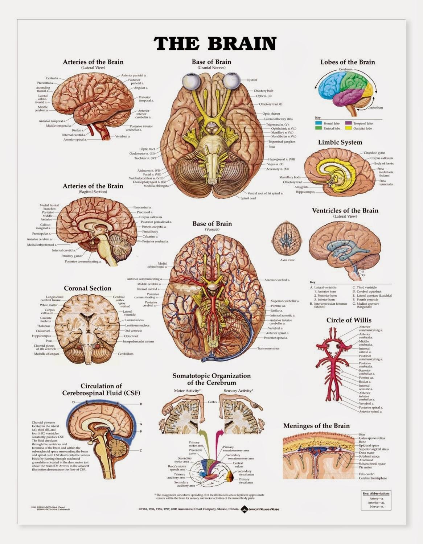 Brain anatomy and function