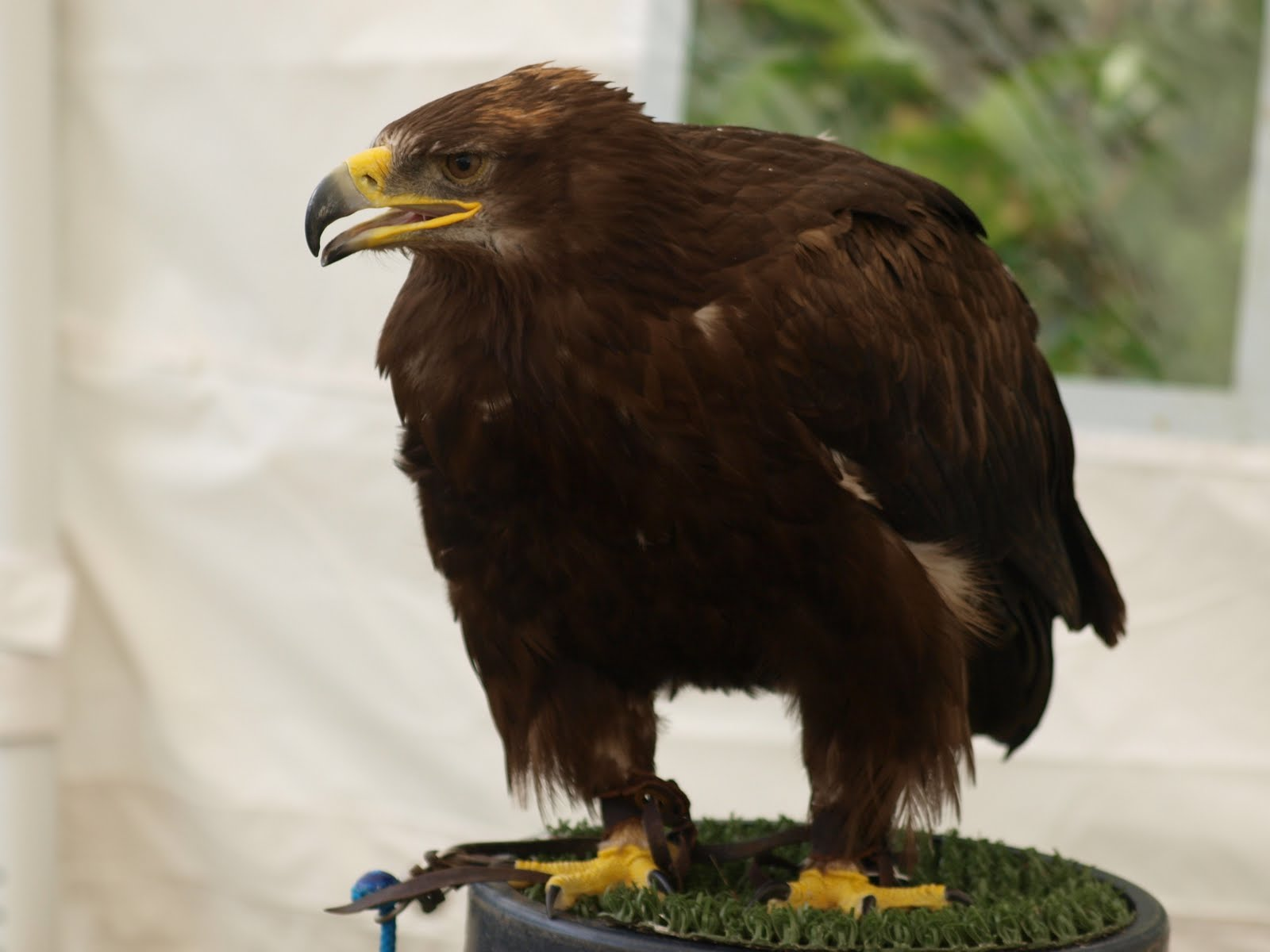 """comparison of hawk and falcon In """"h is for hawk,"""" helen macdonald recounts her efforts to train a notoriously difficult bird of prey in the wake of her beloved father's sudden death."""