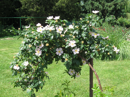 Vaaleanpunainen yksinkertainen varrellinen ruusu