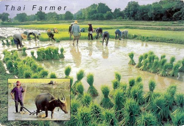people and oxen working in rice fields