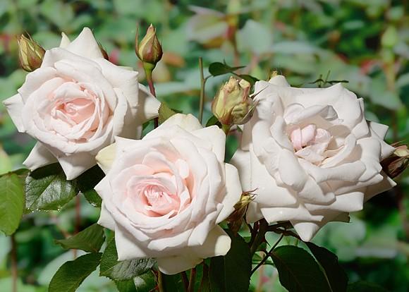 Schwanensee rose сорт розы фото