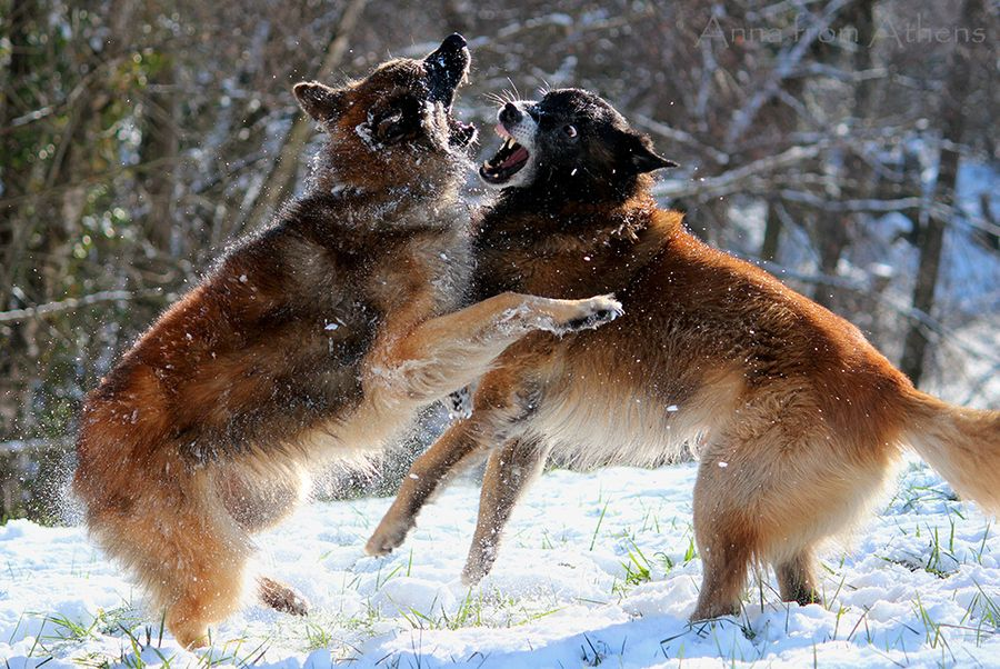 15. Belgian Shepherds playing in the snow by Anna Vasalaki