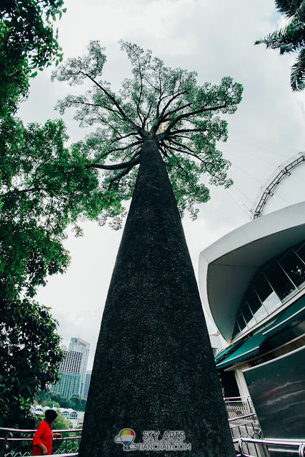 The tall and big size Jelutong Tree  right beside KL Tower