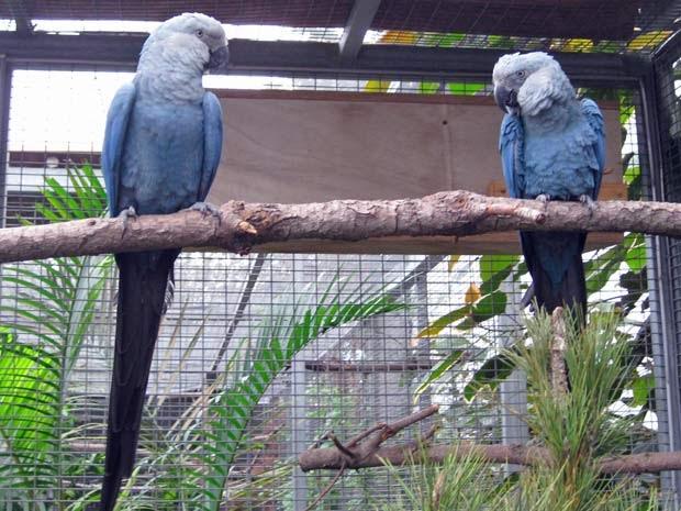 Blue macaws in rio - photo#17