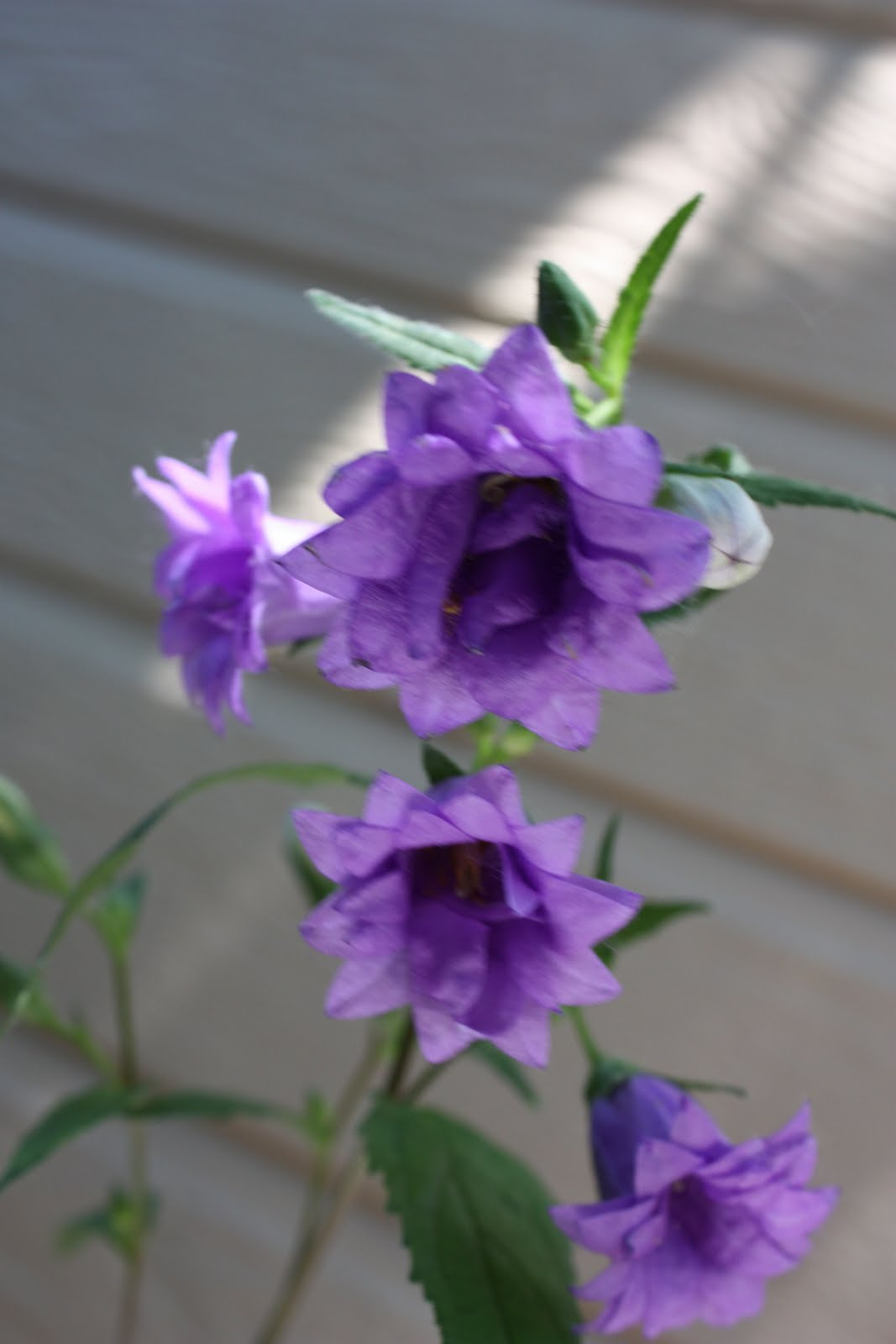 Boise Daily Photo Garden Shot Purple Bell Flower