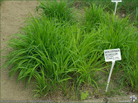 http://plantsgallery.blogspot.com/2014/02/brachypodium-sylvaticum-kosownica-lesna.html