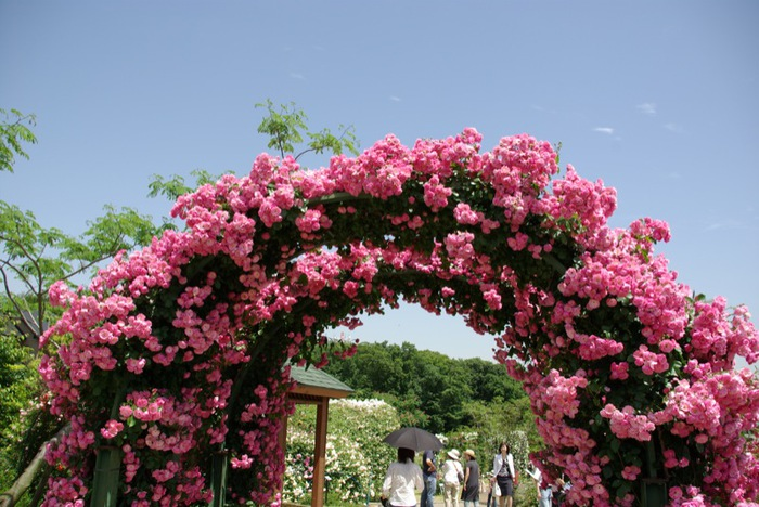 Mariajose jardin de las rosas jap n keisei rose garden for Cancion jardin de rosas