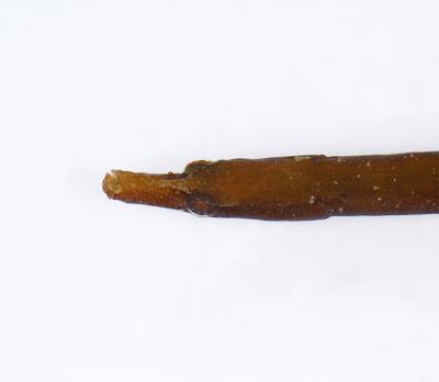 Worm Pipefish Nerophis lumbriciformis