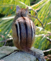 Photo of chipmunk back turned towards camera.