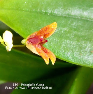 Pleurothallis  fusca  do blogdabeteorquideas