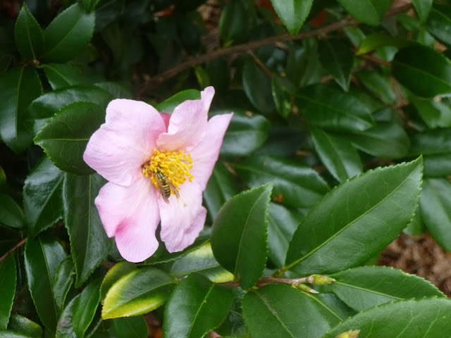Pollinator on Camellia sasanqua flower