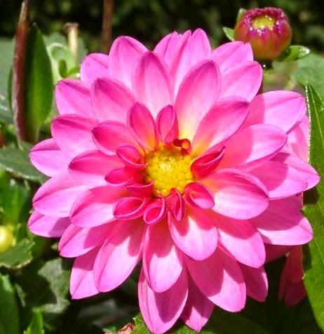Bunga Dahlia yang cantik