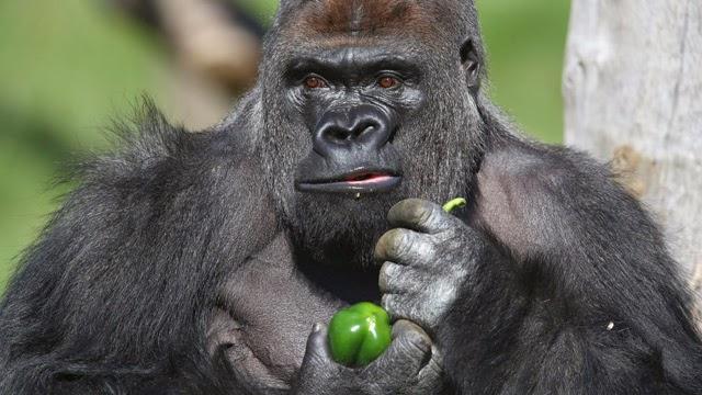 Gorilla wallpaper hd - photo#22