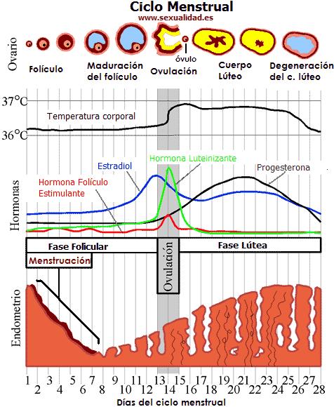 Biologia Humana: 3.2.1 Ciclo Menstrual, Control Hormonal y Menopausia