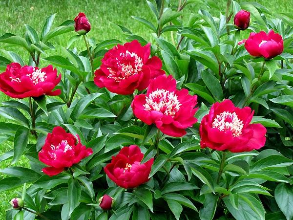 Benefits Of Peony (Paeonia lactiflora) For Health