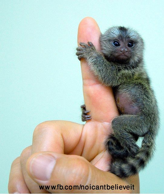Finger Monkey -