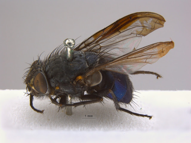 oxford university museum of natural history calliphora vicina via lovebirds vintage