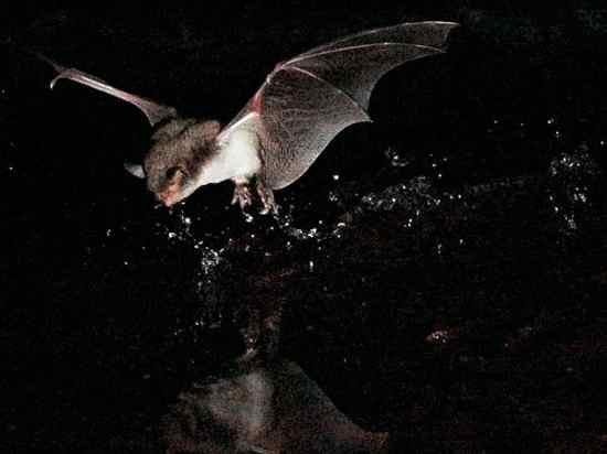 Ghost bat the life of animals for Fish eating bat