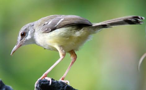 Cara Merawat Burung Ciblek Putih Dan Kuning