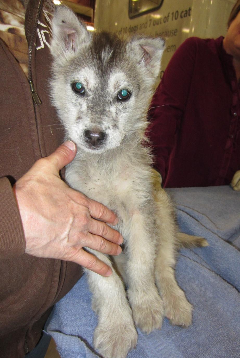 Husky Pug Mix - Dog Training Home | Dog Types