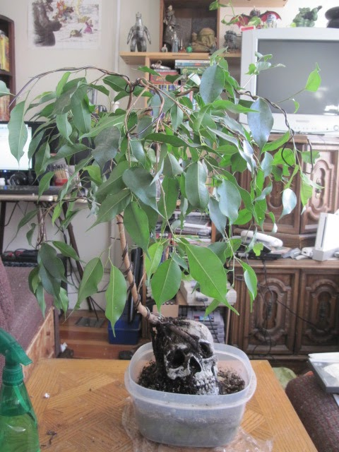 growing stuff wiring a ficus benjamina for shape rh i grow stuff blogspot com Ginseng Ficus Bonsai Ginseng Ficus Bonsai