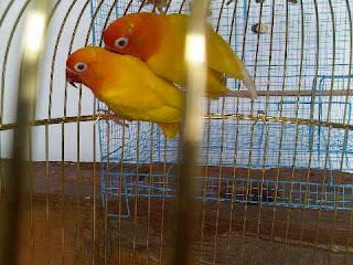 Lovebird lutino mata merah anakan umur 5bulan