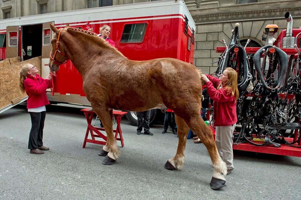 Clydesdale; Horse; Grooming; Opening Day; Cincinnati